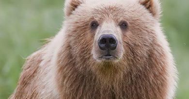 Bear Spray vs Guns for Bear defense, Apples to Kumquats